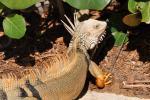 Iguana at the resort