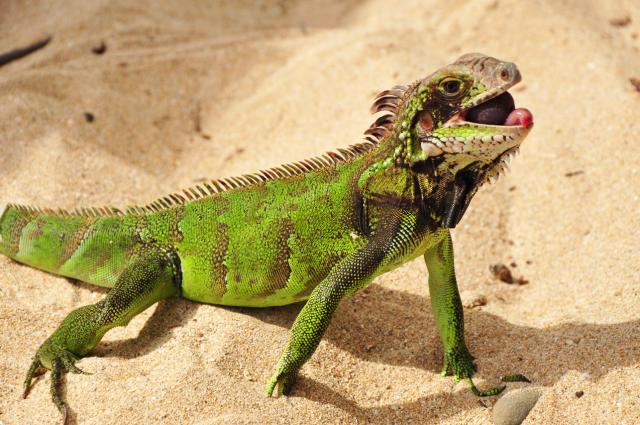 Green Iguana (by Paolo Ciccarese)
